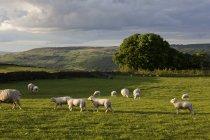 Sheep flock grazing on grassy field in sunlight — Stock Photo