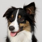 Closeup portrait of one dog on gray background — Stock Photo