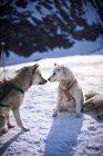 Toucher le nez des chiens de traîneau — Photo de stock