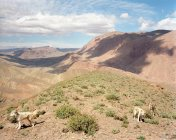 Sheepdogs on dry mountaintop — Stock Photo