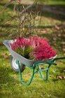 Bei fiori di fioritura in carriola, concetto di giardinaggio autunnale — Foto stock