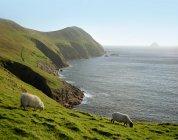 Sheep grazing on rural hillside — Stock Photo
