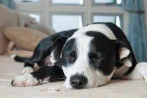 Cachorro dormindo no sofá — Fotografia de Stock
