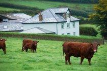 Kühe im grünen Feld — Stockfoto