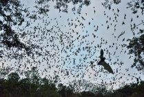 Печера летючих мишей, залишаючи годувати на захід сонця, Calakmul біосферного заповідника, Кампече, Мексика — стокове фото
