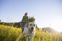 Зрелая женщина, ходящая лабрадор ретривер в залитых солнцем полевых лугах — стоковое фото