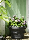 Садовое растение с фиолетовыми цветами в горшке — стоковое фото