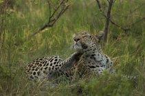 Leopardo Rilassante e sdraiato sull'erba verde — Foto stock