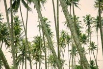 Rows of green palm trees, Sri Lanka — Stock Photo