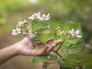 Hand holding blackberry flowers on fruit farm, close up — Stock Photo