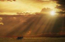 Oryx ходити в лузі на заході сонця — стокове фото