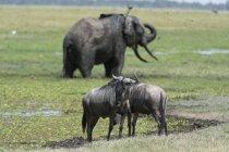 Gnus und afrikanische Elefanten im Amboseli Nationalpark, Kenia, Afrika — Stockfoto