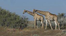 Гепард и жирафы на равнине под голубым небом, Намибия — стоковое фото
