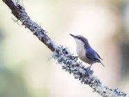Повзик пігмеїв птах, сидячи на дереві twig, ліс пагорби, Каліфорнія, США — стокове фото