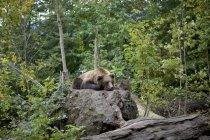 Brown bear lying on top of fallen tree root in forest, Innsbruck, Tyrol, Austria — Stock Photo