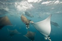 Underwater view of mobula rays gathering for migration around the Yucatan Peninsula, Contoy Island, Quintana Roo, Mexico — Stock Photo