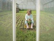 Chica joven cosecha rábanos orgánicos en túnel de poli - foto de stock