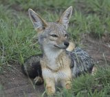 Black-backed jackal lying in grass, Tanzania — Stock Photo