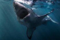Большая белая акула, плавание под водой — стоковое фото