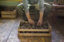 Cropped image of Man sorting crate of seedling potatoes in shed — Stock Photo