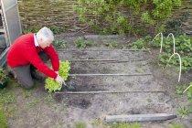 Uomo anziano piantagione in giardino — Foto stock