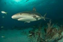 Vue latérale du requin nageant sous l'eau — Photo de stock