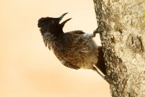 Red-vented bulbul on tree at Yala National Park, Sri lanka — Stock Photo