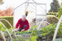Senior man planting in garden — Stock Photo