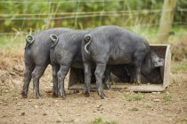Rear view of piglets on farm feeding from trough — Stock Photo