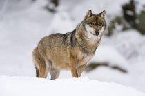 Серый волк, ходить в национальном парке Баварский лес — стоковое фото