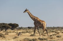 Gazelle and giraffe grazing on plains with blue sky — Stock Photo
