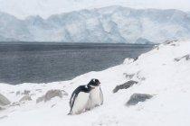 Two gentoo penguins on snow near antarctic ocean, antarctica — Stock Photo
