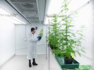 Scientist growing Sweet Wormwood (Artemisia annua) under artifical light in biolab — Stock Photo