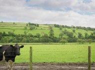 Vaca en campo verde detrás de la cerca - foto de stock