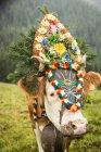 Mucca con copricapo — Foto stock