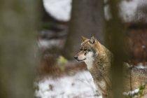 Сірий вовк snowy ліс, Баварський ліс Національний парк, Баварія, Німеччина — стокове фото