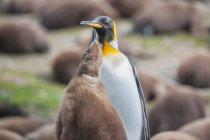 Adulto re pinguino con pulcino — Foto stock
