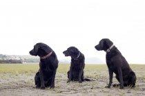 Three black labradors looking away outdoors — Stock Photo