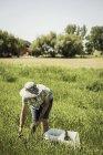 Donna in campo con cappello da sole che si piega in avanti raccogliendo asparagi — Foto stock