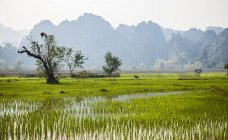 Champs de riz en eau verte connecté, Thakhek, Khammouane, Laos — Photo de stock