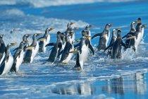 Pinguins Gentoo, ficando fora da água, Libra de Ilhas Falkland — Fotografia de Stock