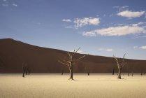 Alberi morti sulla vaschetta di argilla in pieno sole, Namibia — Foto stock