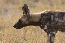 Вид збоку африканських дикі собаки в Чобе Національний парк, Ботсвани — стокове фото