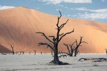 Alberi morti vicino a grandi dune di sabbia — Foto stock