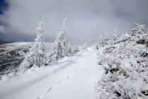 Cubierta de nieve, abetos y un terreno con pasos - foto de stock