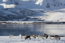 Reindeer grazing near snowy shore, Lofoten and Vesteralen Islands, Norway — Stock Photo