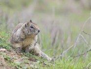 Otospermophilus beecheyi or California Ground Squirrel, Berkeley, California, USA — Stock Photo