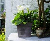 Arum lily in vaso giardino pianta fiorita bianca — Foto stock