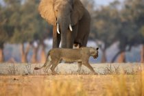 Leoa ou Panthera leo passando pelo touro do elefante africano ou Loxodonta africana, Parque Nacional de Mana Pools, Zimbabwe, África — Fotografia de Stock