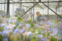 Рабочий осматривает участок в теплице на травяной ферме — стоковое фото
